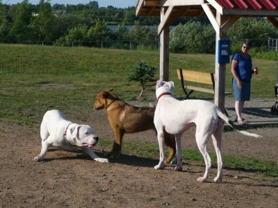 Dogo Argentino Puppy. a fellow Dogo Argentino